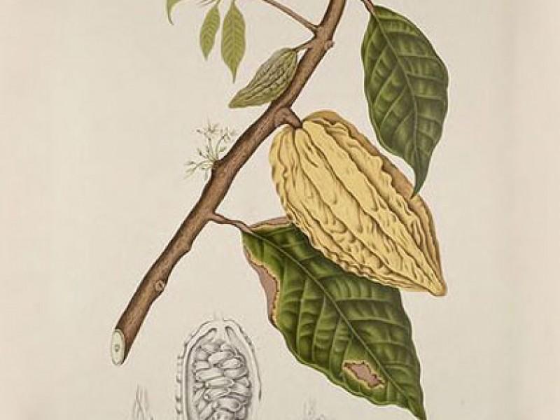 Lịch sử và nguồn gốc của cây cacao - loài cây của thượng đế